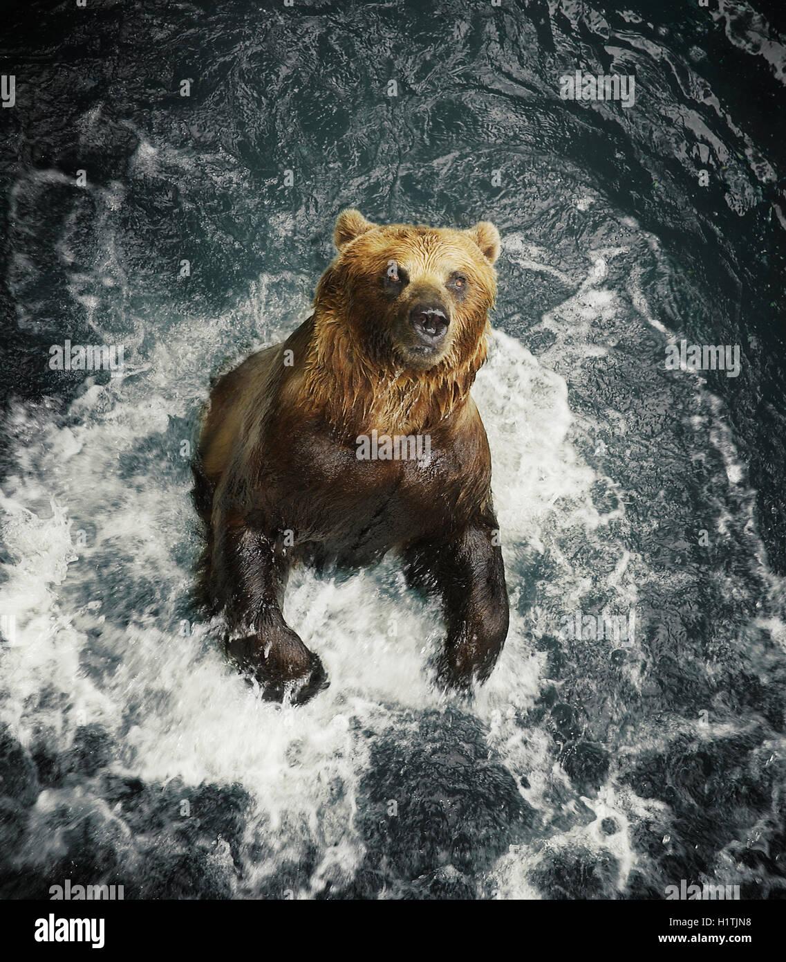 Un oso grizzly las salpicaduras de agua. Imagen De Stock