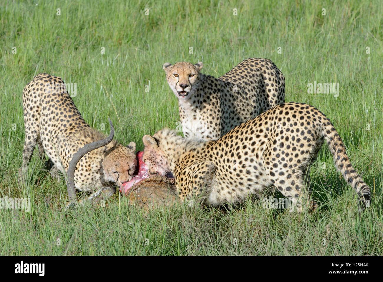 Guepardo (Acinonix jubatus) madre con dos menores con acaba de matar hombres impala (Aepyceros melampus), Maasai Imagen De Stock
