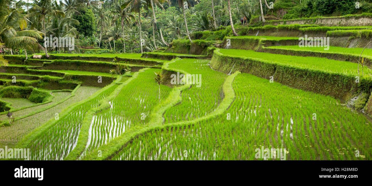 Indonesia, Bali, Tampaksiring, Gunung Kawi, escarpadas terrazas de arrozales, Vistas panorámicas Foto de stock