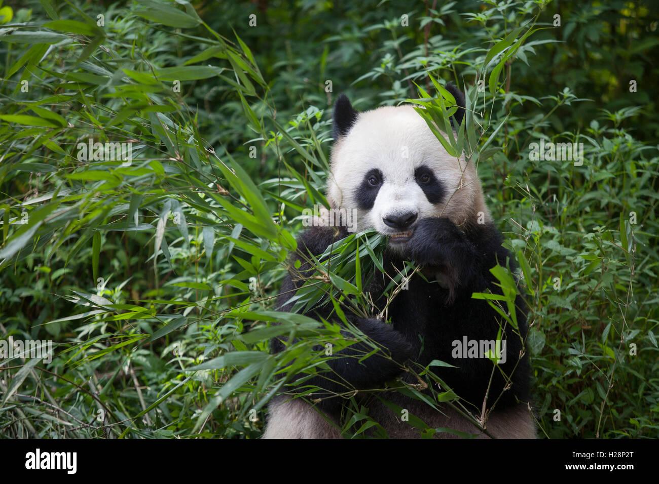 Oso Panda está comiendo hojas de bambú en la Reserva Nacional de Bifengxia Panda en Sichuan, China Imagen De Stock