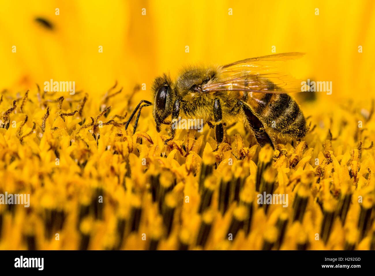 Carniolan de abejas (Apis mellifera Carnica) está recogiendo néctar en un común de girasol (Helianthus annuus) Flor, Sajonia Foto de stock