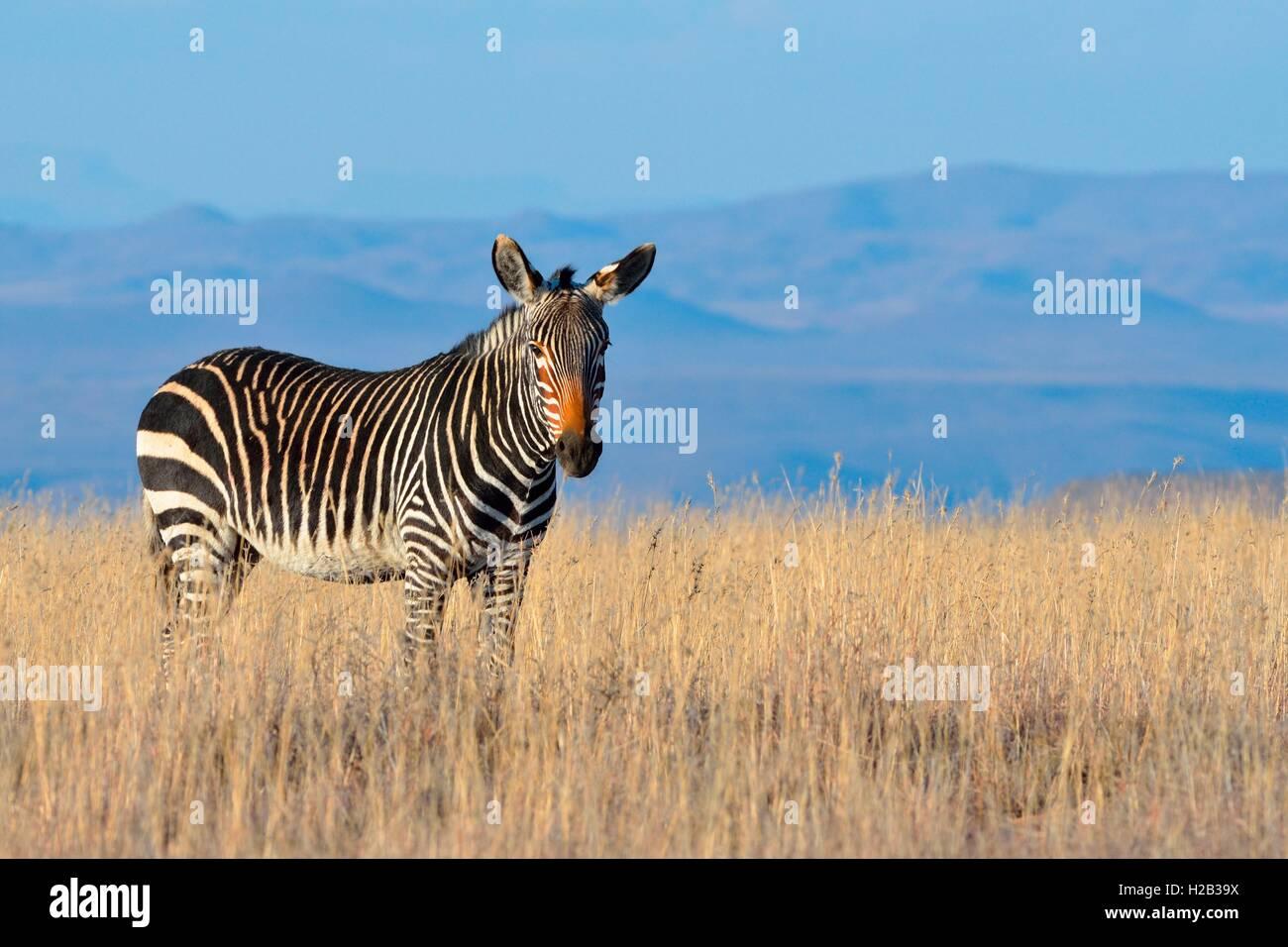 Cape Mountain zebra Equus zebra (ZEBRA), de pie en el pasto seco, Mountain Zebra National Park, Eastern Cape, Sudáfrica Imagen De Stock