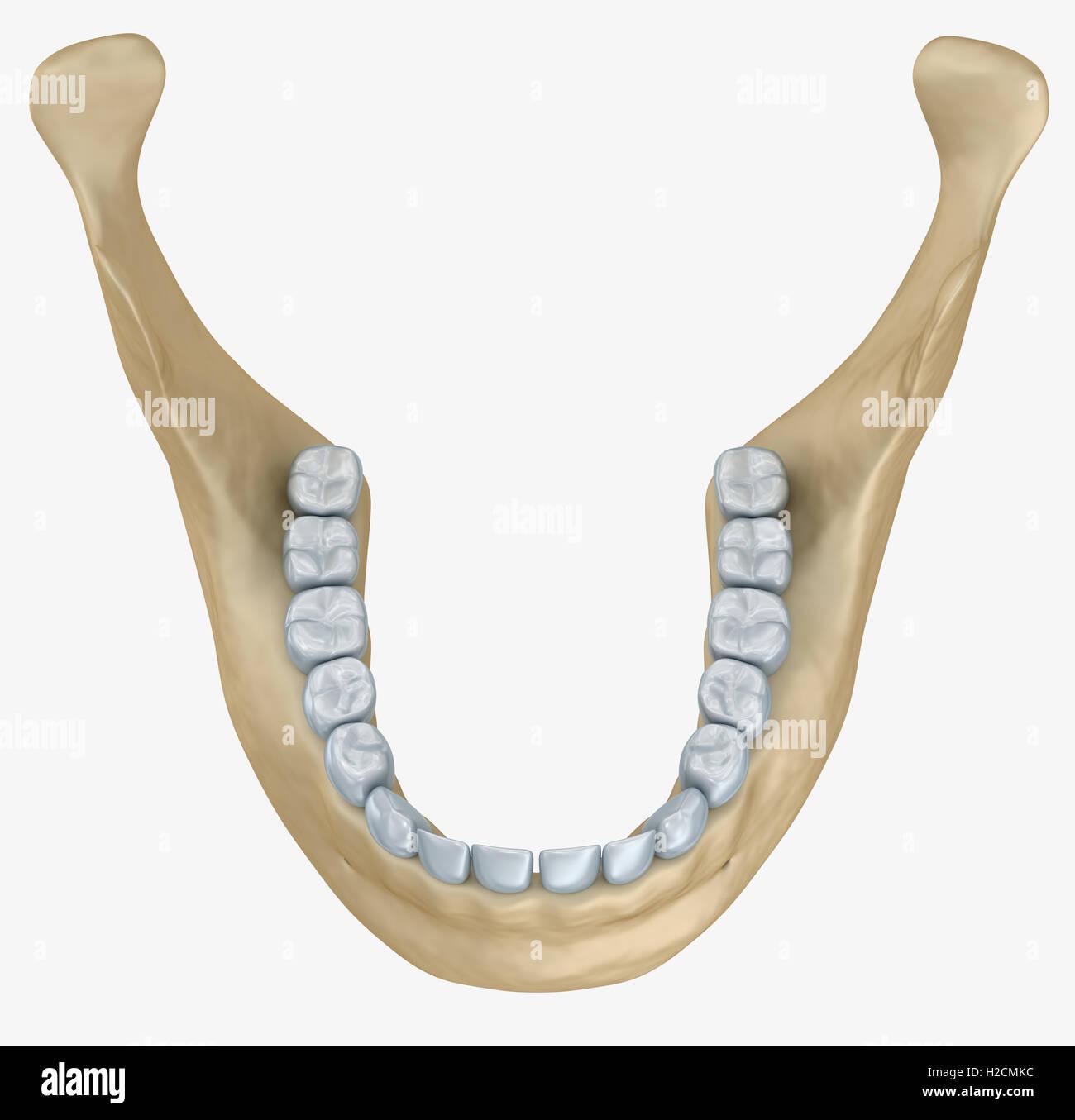 La mandíbula inferior y dientes esqueleto anatomía. Medical precisa ...