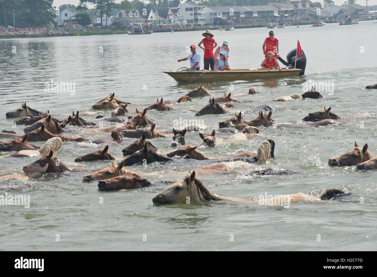 Chincoteague Co. de Bomberos Voluntarios voluntarios en una embarcación directa cercana a una manada de caballos salvajes que nadan a través del canal de Assateague Island a Chincoteague Island durante la 91ª anual de Pony Swim, Julio 27, 2016 en Chincoteague, Virginia. Foto de stock