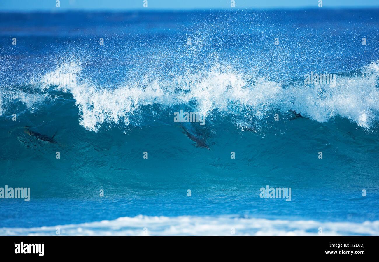 Pingüinos papúa (Pygoscelis papua) olas para practicar surfing, lobos de mar, Islas Malvinas, Islas del Imagen De Stock