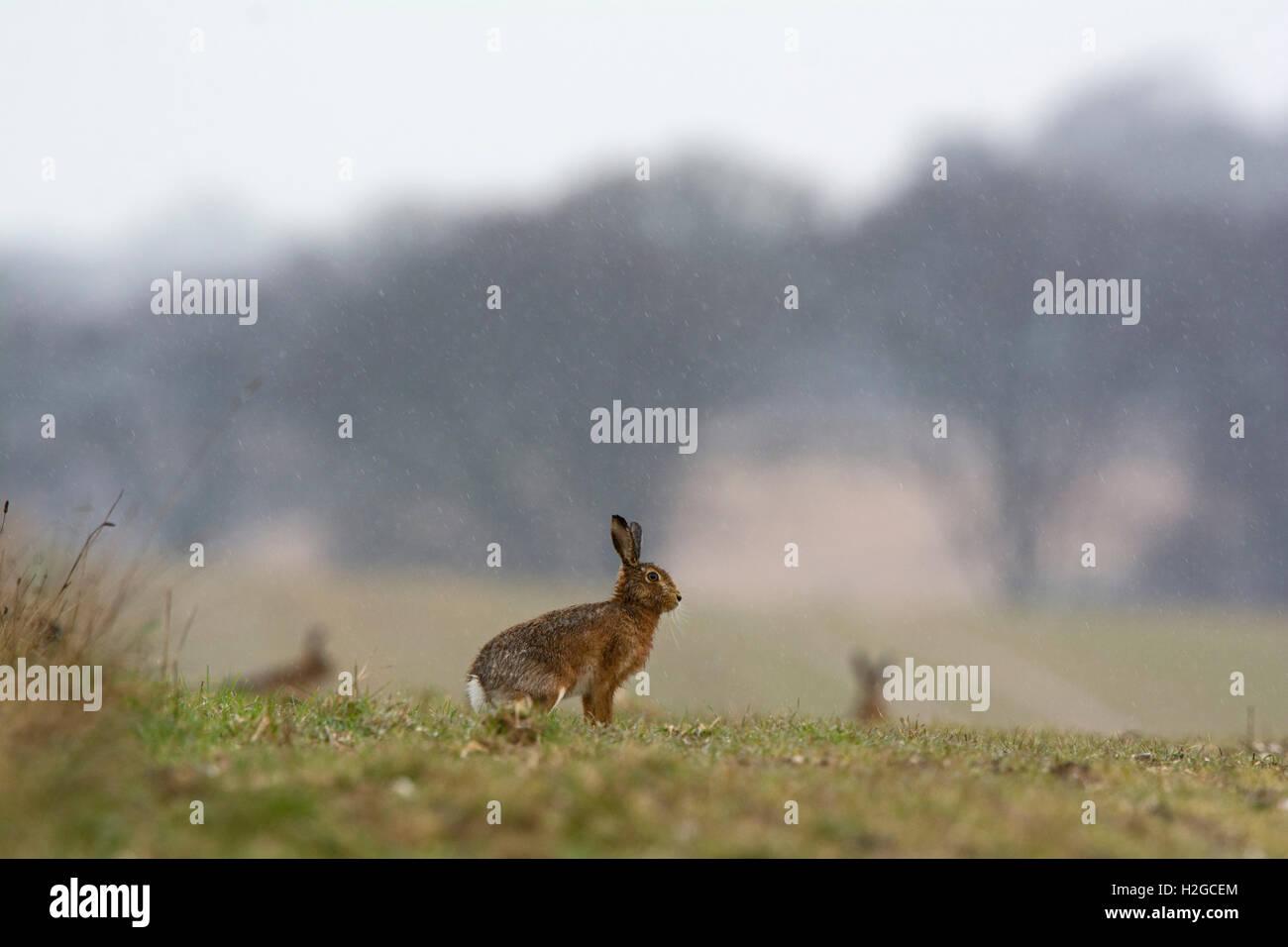 Brown Liebre Lepus europaeus en lluvia torrencial Holt Norfolk Imagen De Stock