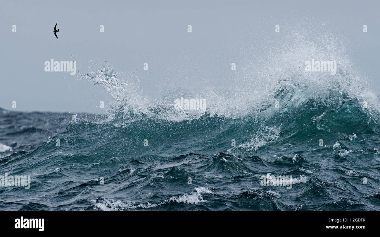 Wilsons Petrel sobre aguas turbulentas del Océano Sur fuera de la Antártida Foto de stock