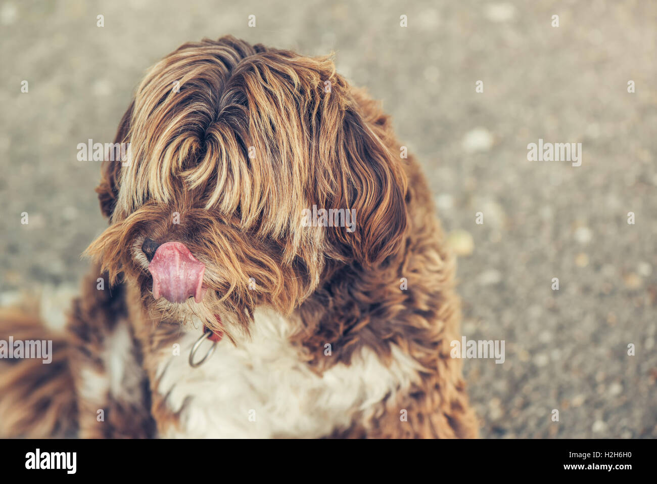 Lhasa Apso perro hembra antiguo retrato exterior Foto de stock