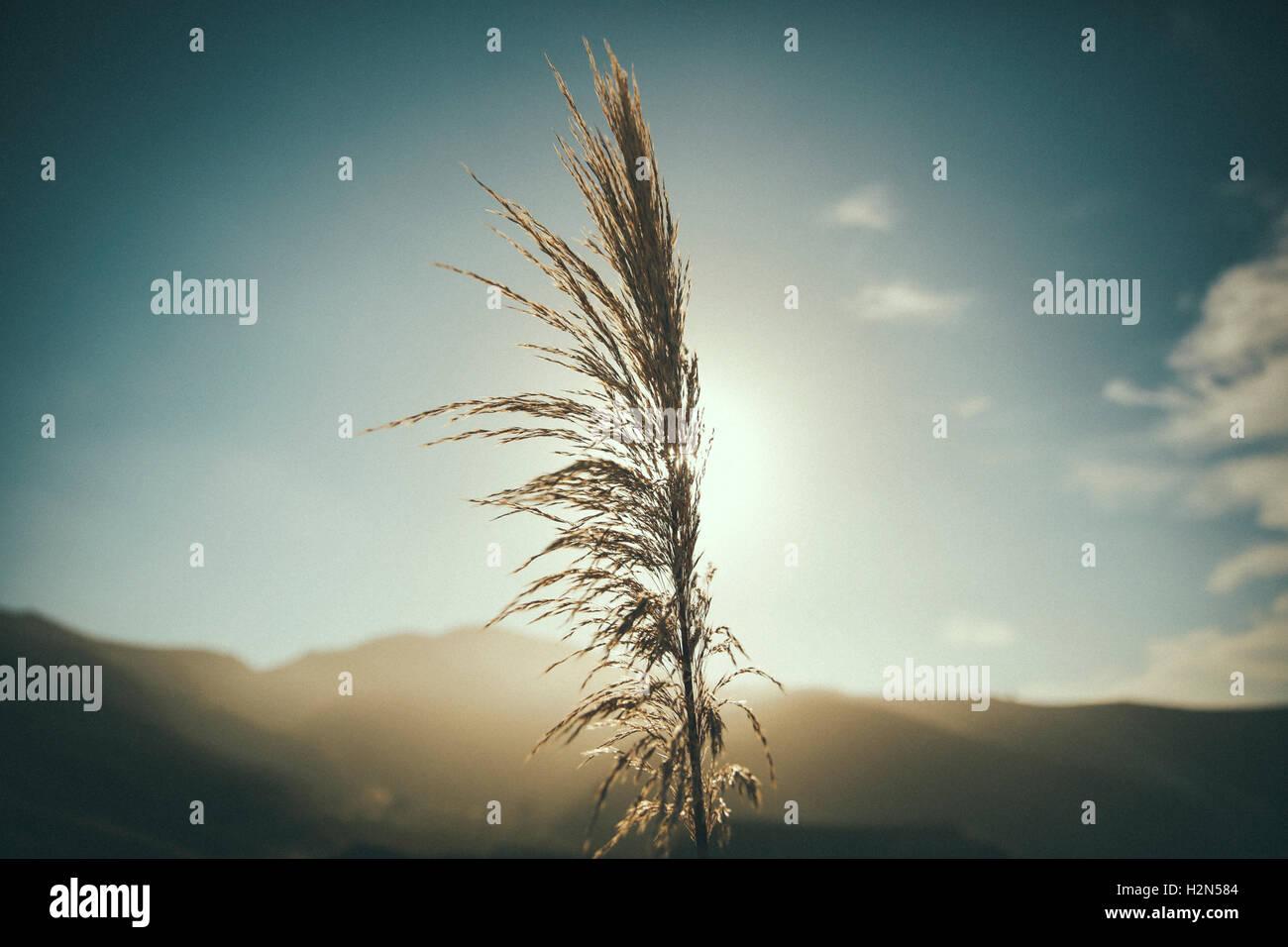 Hierba retroiluminada al amanecer. Imagen De Stock