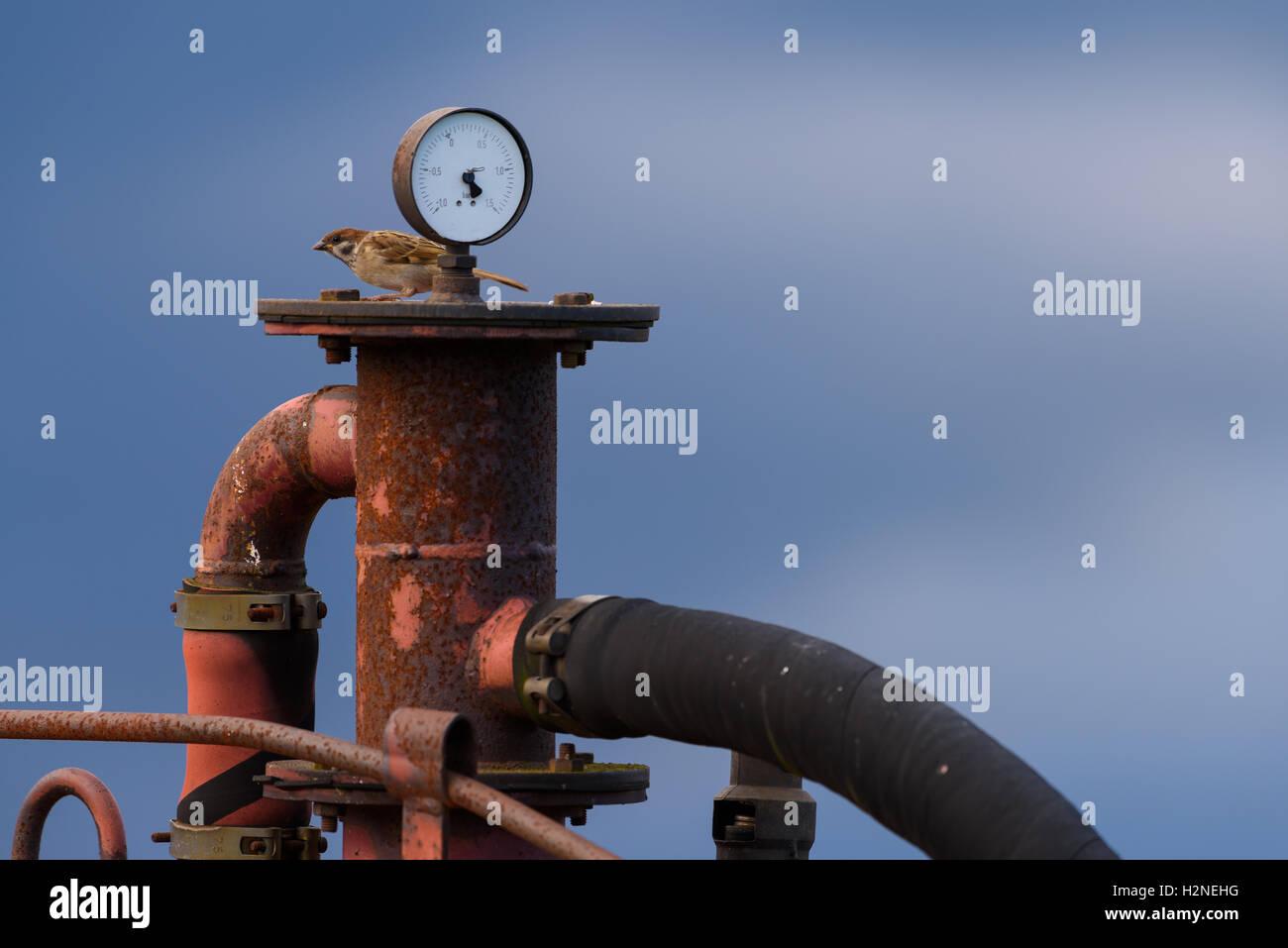 Sparrow sentado detrás de metro y en la parte superior de una vieja máquina oxidada y rojo Foto de stock