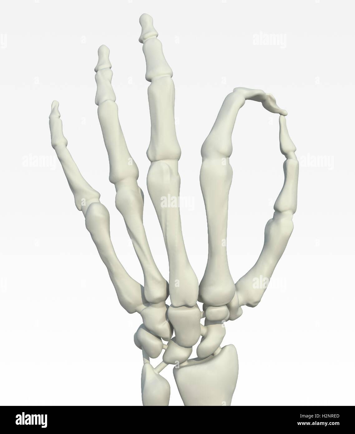 Mano esqueleto haciendo gestos ok, ilustración 3d Foto & Imagen De ...