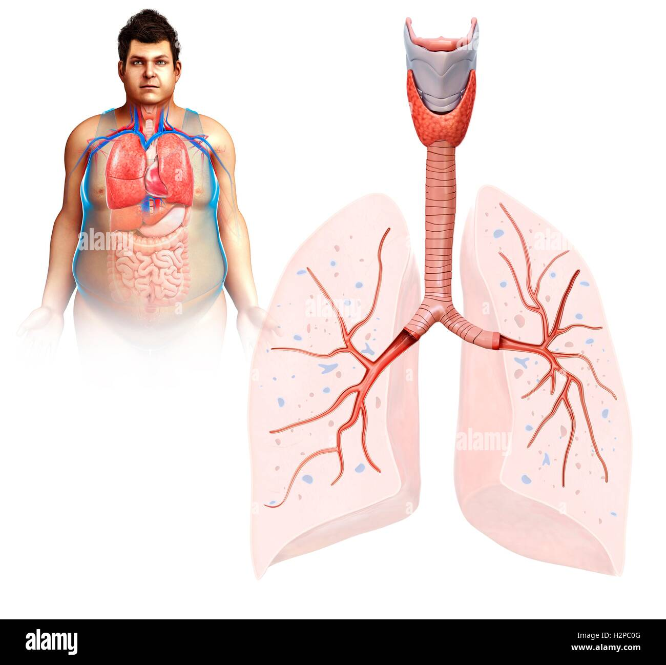 Ilustración de Anatomía del pulmón masculina Foto & Imagen De Stock ...