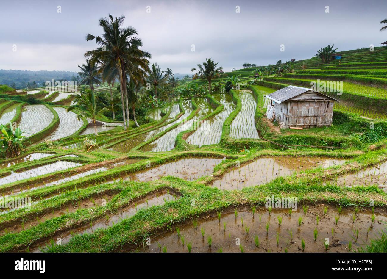 Jatiluwih terrazas de arroz. Bali. Indonesia, en Asia. Imagen De Stock