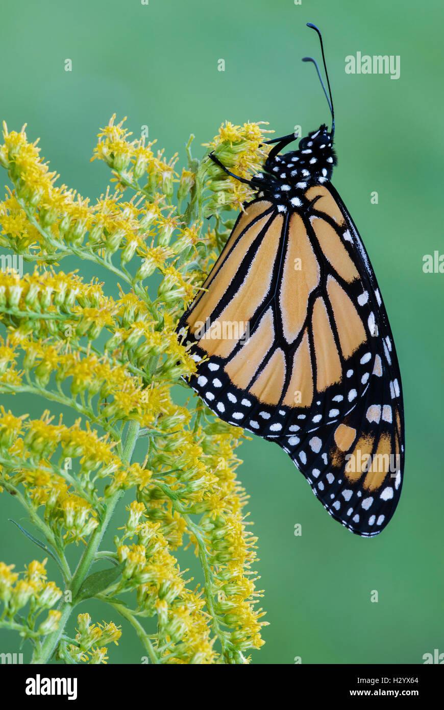 Mariposa monarca (Danaus plexippus) en Goldenrod Solidago (SPS), a finales de verano, principios de otoño, E EE.UU., Foto de stock