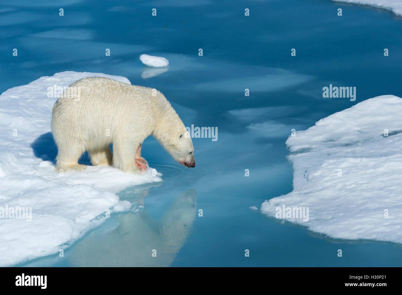 Macho el oso polar (Ursus maritimus) con sangre en la nariz y la pierna sobre hielo y agua azul, la isla de Spitsbergen Imagen De Stock