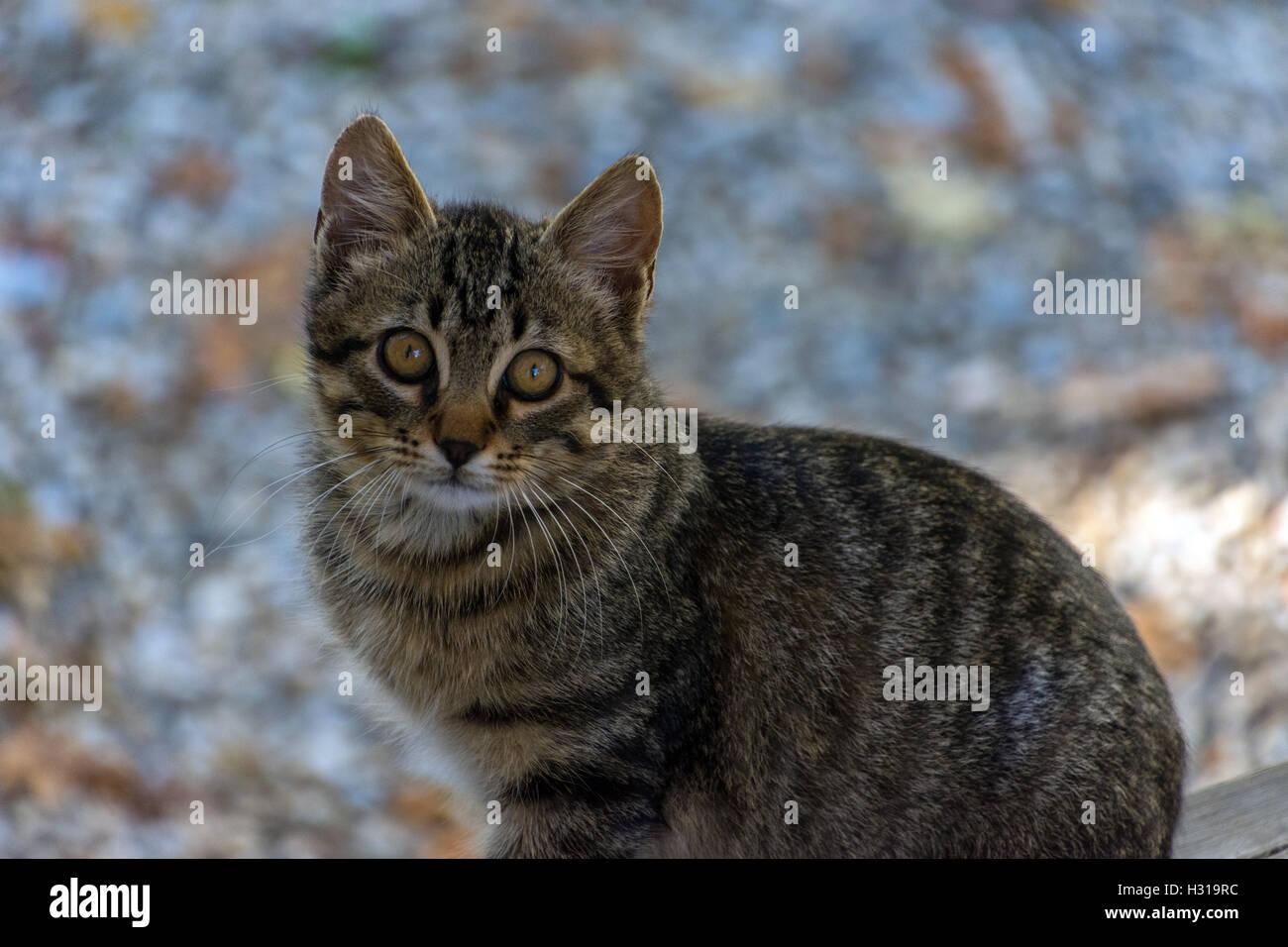 Tímido feral gato atigrado mirando a la cámara, asustada, detrás de los colores de otoño Imagen De Stock