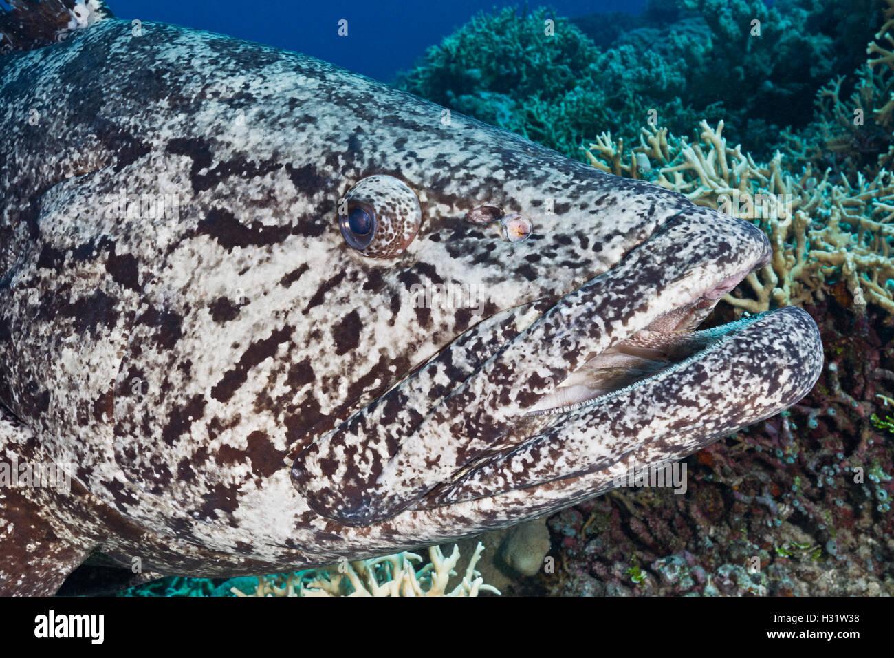 QZ52004-D. Potato Cod (Epinephelus tukula), el enorme pez de arrecife cerca de 2 metro de largo, suave y curioso. La Gran Barrera de Coral, Australi Foto de stock