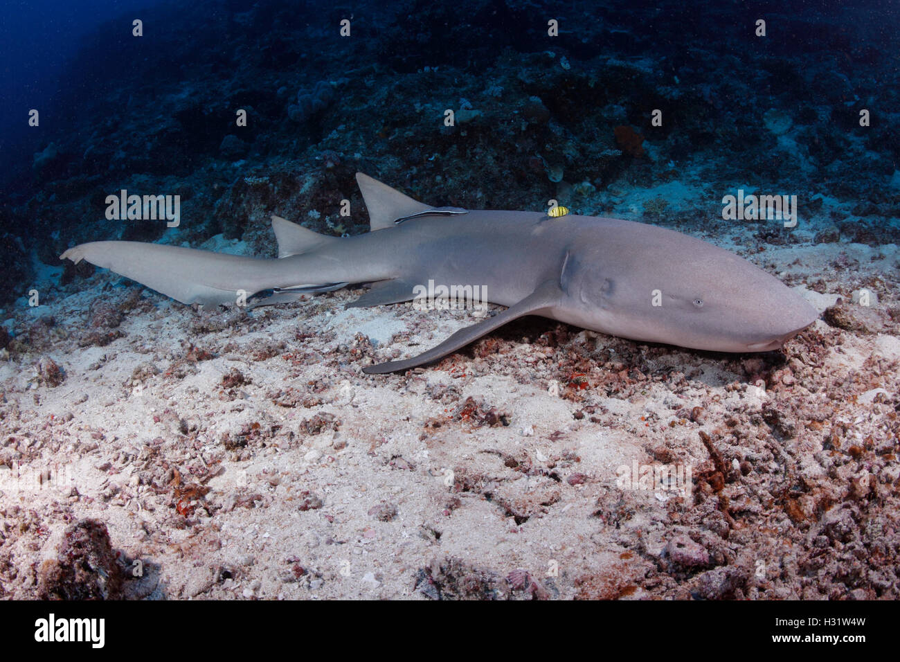 QZ52639-D. Tawny tiburón nodriza (Nebrius ferrugineus). Australia, el Indo-Pacífico tropical de los océanos. Photo Copyright © Brandon Cole. Todos Foto de stock