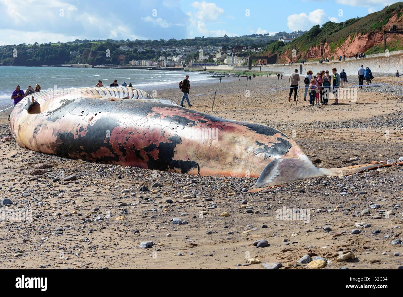 Ballena de Aleta muerta vararon cerca Dawlish South Devon UK Foto de stock