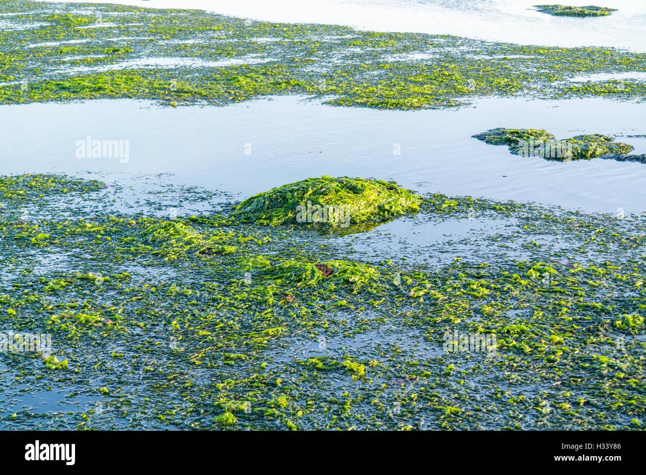 Flotando a la lechuga de mar, Ulva lactuca, sobre la superficie del agua en la marea baja de Waddensea, Países Bajos Foto de stock