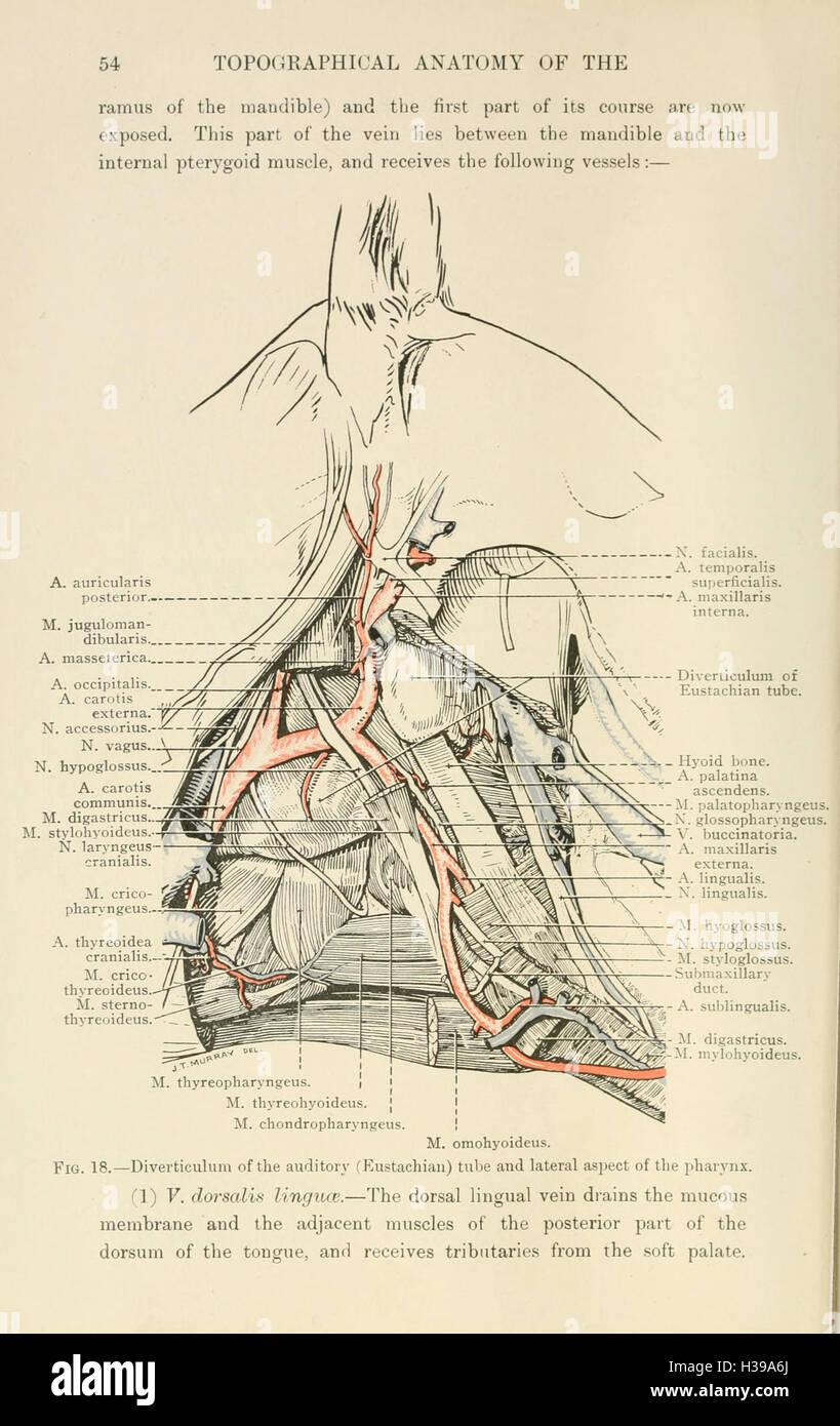 La anatomía topográfica de la cabeza y el cuello del caballo (página ...