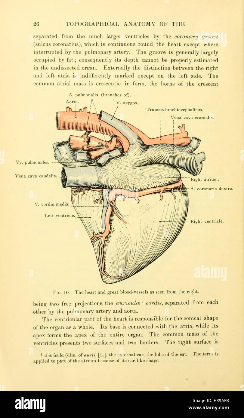 La anatomía topográfica del tórax y abdomen del caballo (página 26 ...