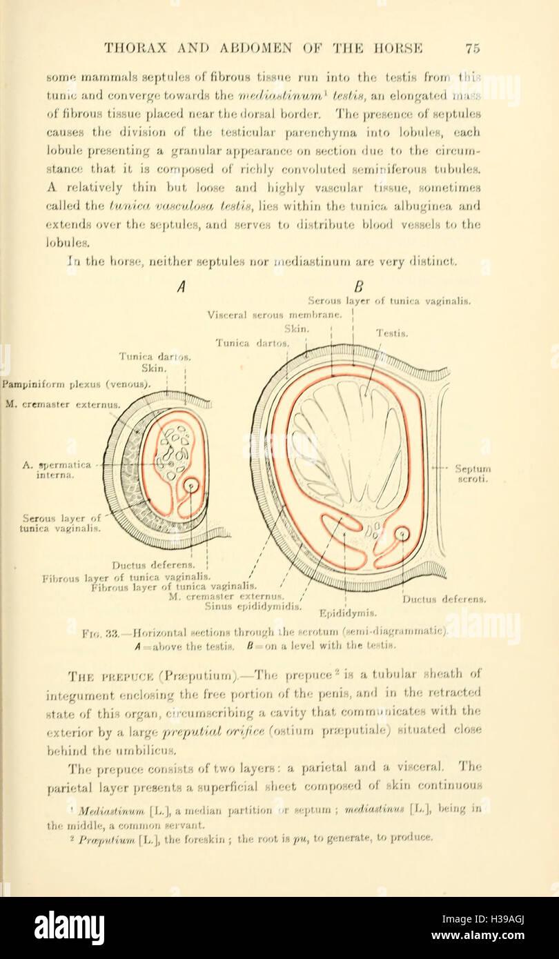 La anatomía topográfica del tórax y abdomen del caballo (página 75 ...