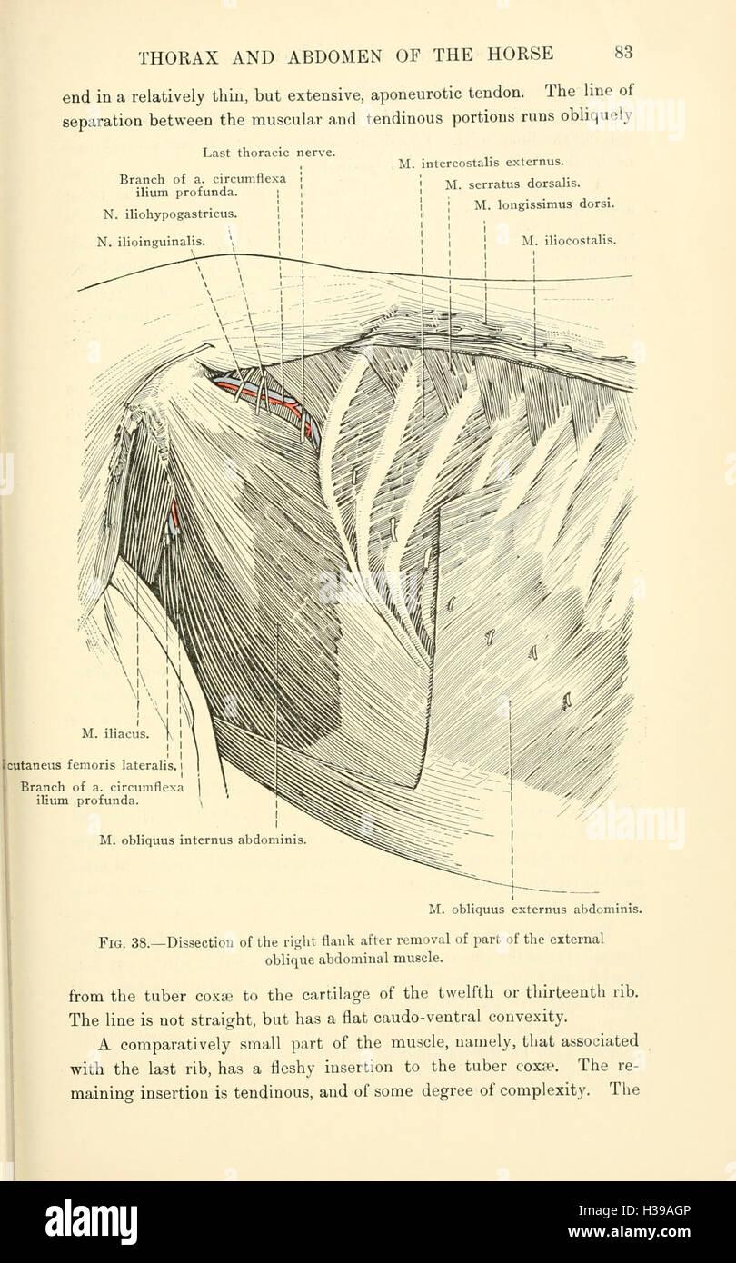 La anatomía topográfica del tórax y abdomen del caballo (página 83 ...