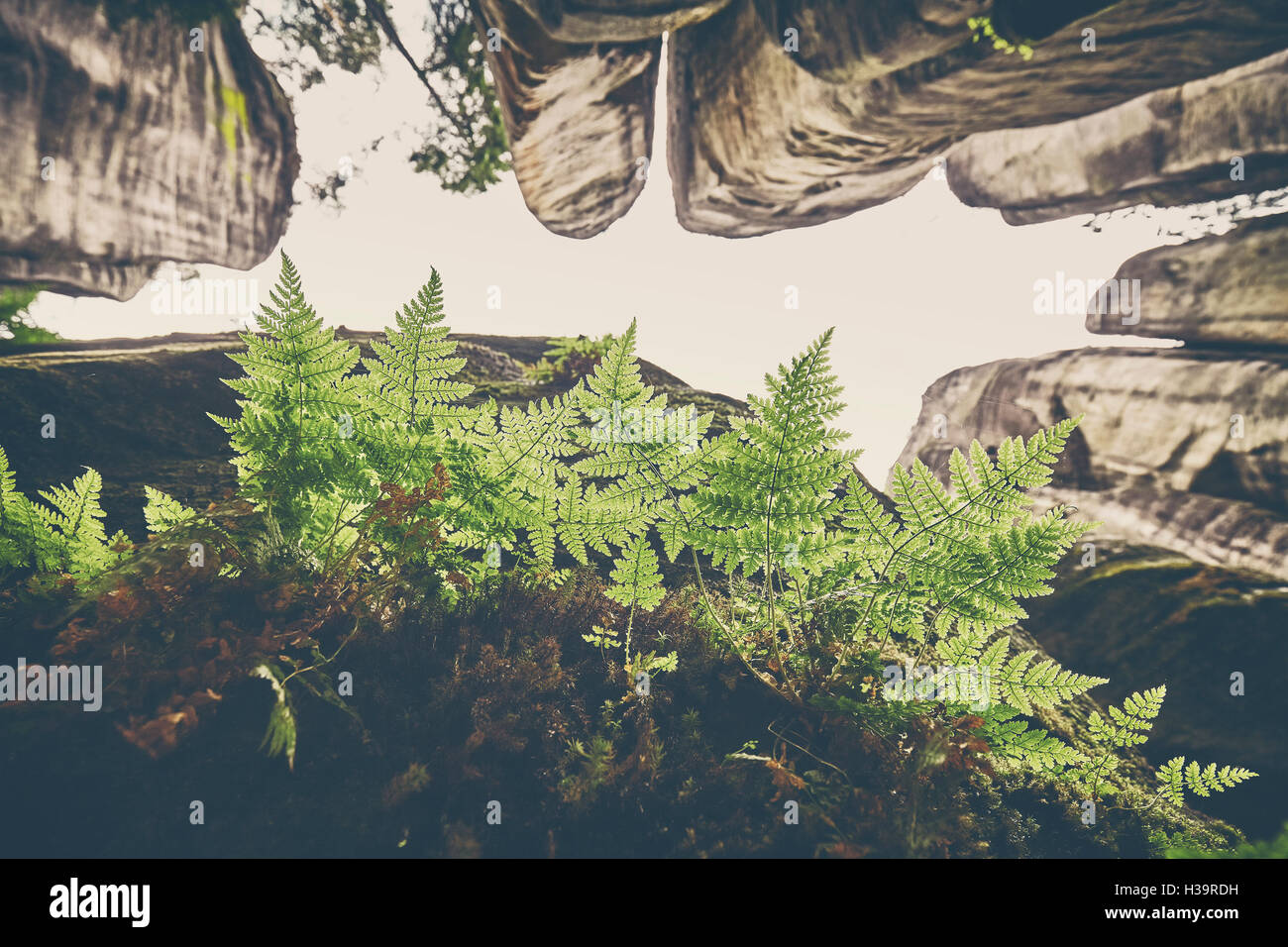 Tonos vintage de hojas de helecho en roca, mirando las montañas, el enfoque selectivo. Imagen De Stock