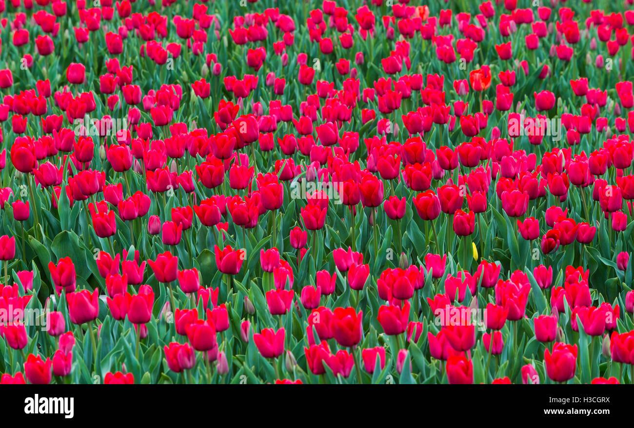 Plantación de la flor Tulipan en las cercanias de la ciudad de Osorno, Décima Región de Chile. Estas Imagen De Stock