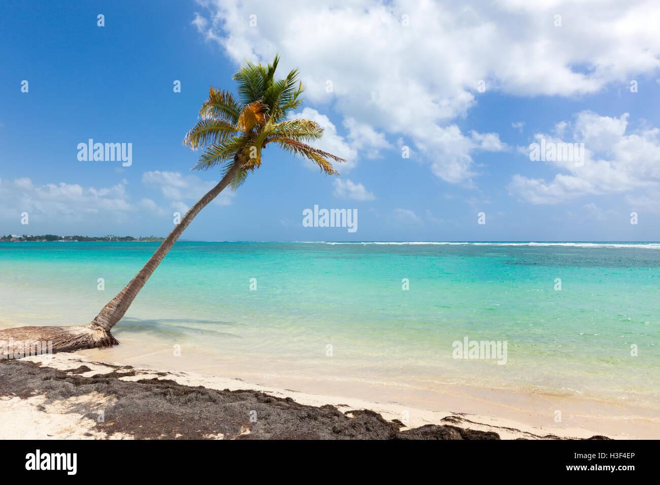 Sola palmera en la playa del Mar Caribe, Guadalupe Foto de stock