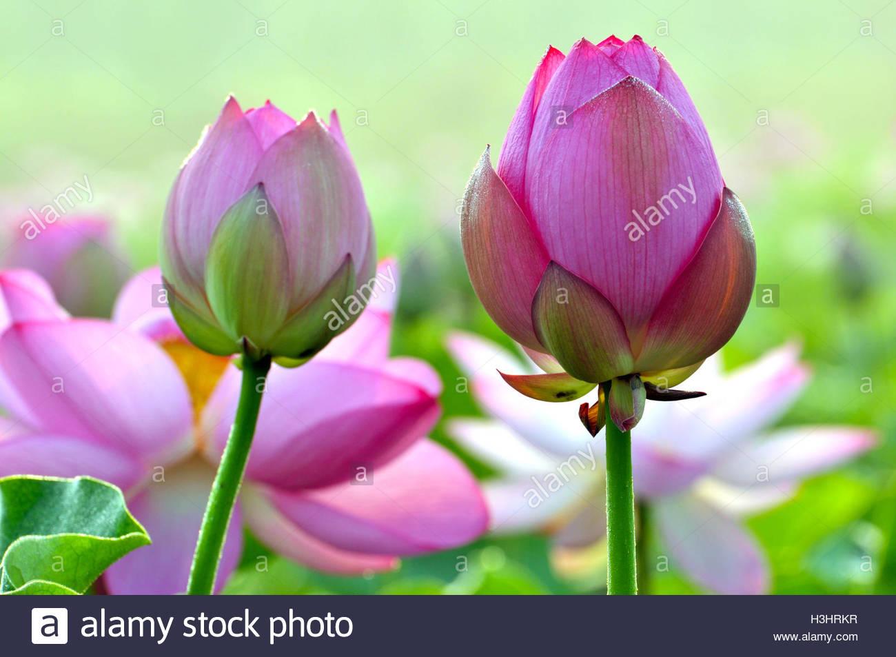 Lotus Flower Hindu Imgenes De Stock Lotus Flower Hindu Fotos De