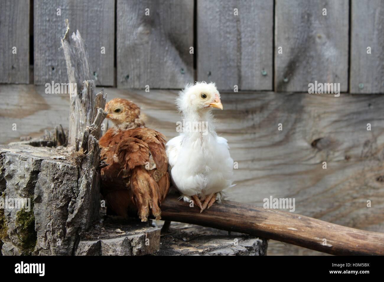 La mitad crecido polluelos; Que torpe Stage Imagen De Stock