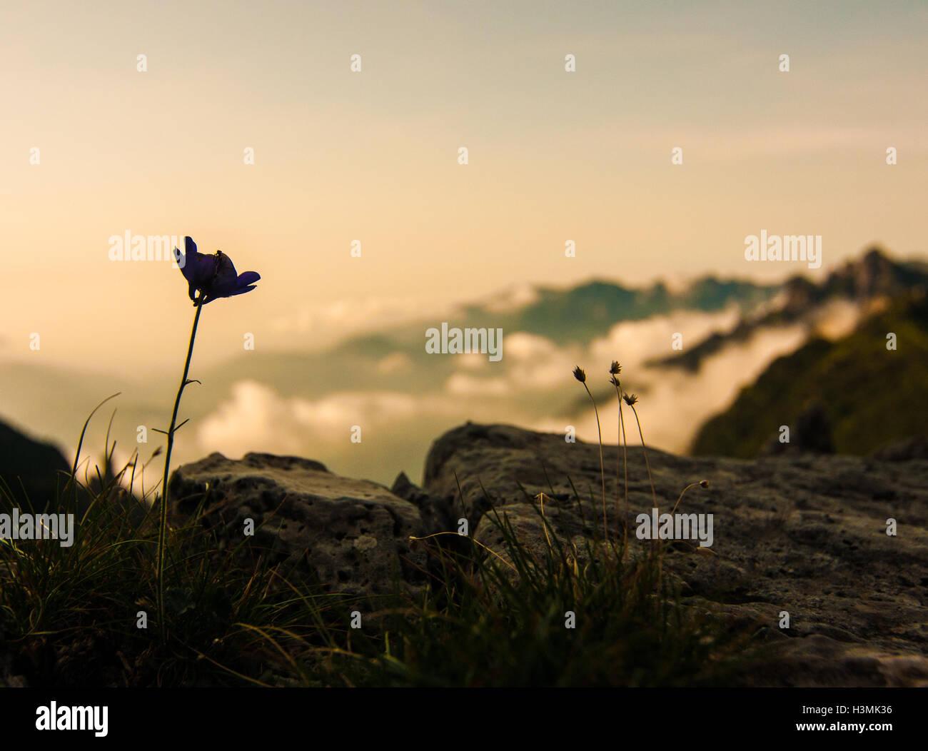 Una flor en el Monte Grappa en los Alpes italianos Foto de stock