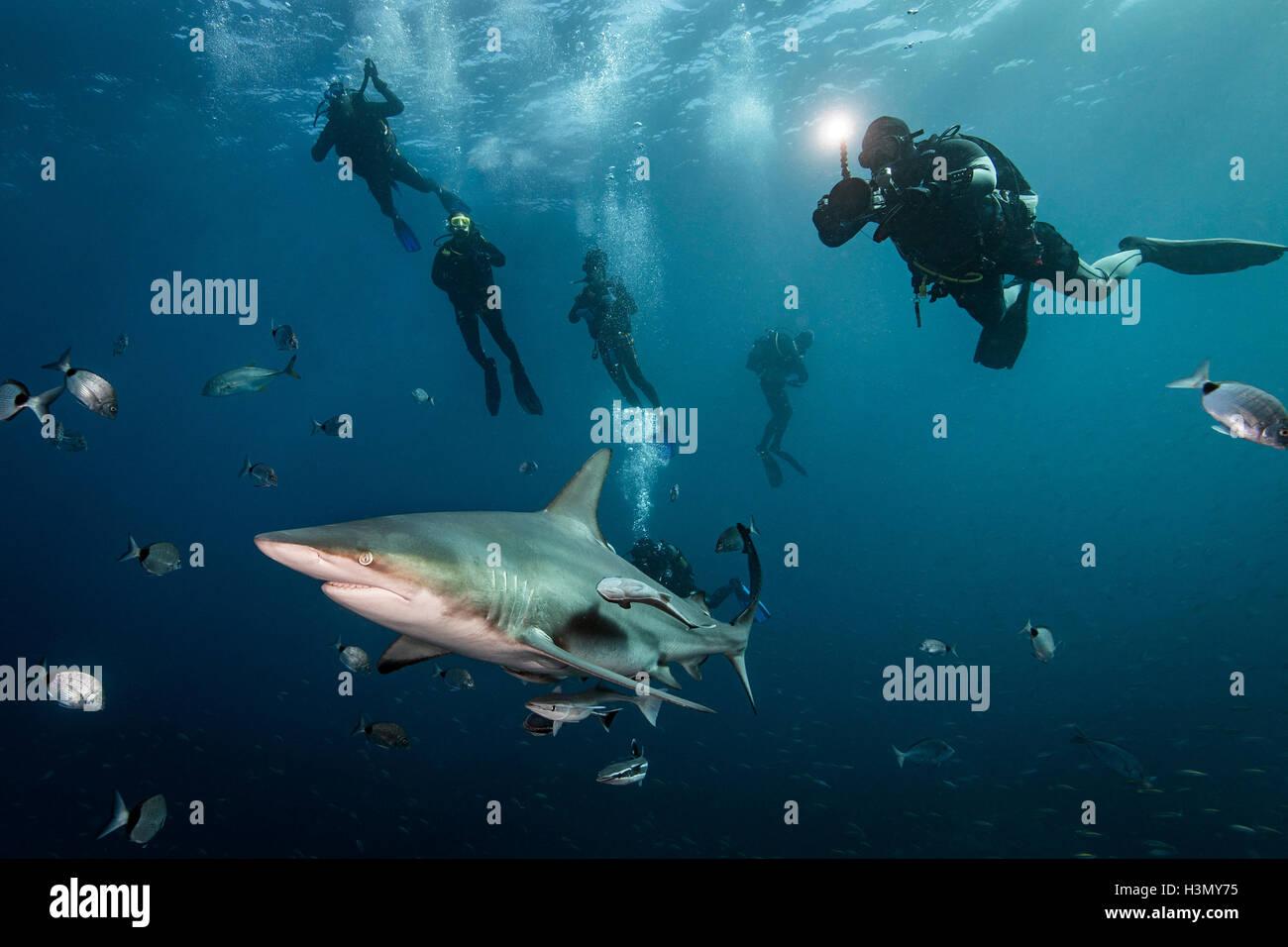 Los buceadores' encuentro con gran tiburón macuira oceánico (Carcharhinus limbatus), Aliwal Shoal, Sudáfrica Foto de stock