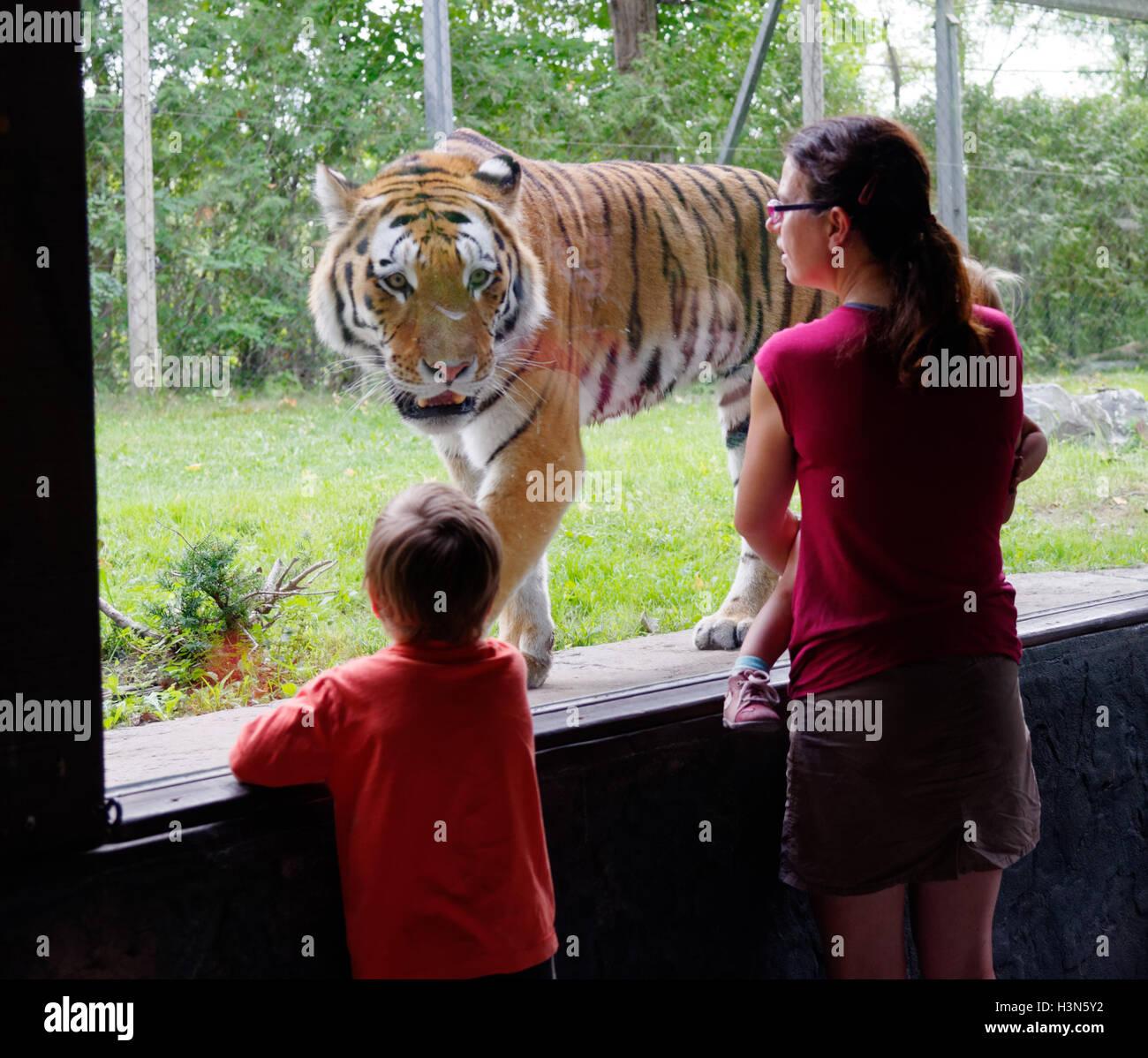 El tigre siberiano en Granby Zoo mirando a la gente detrás del cristal, Quebec, Canadá Imagen De Stock