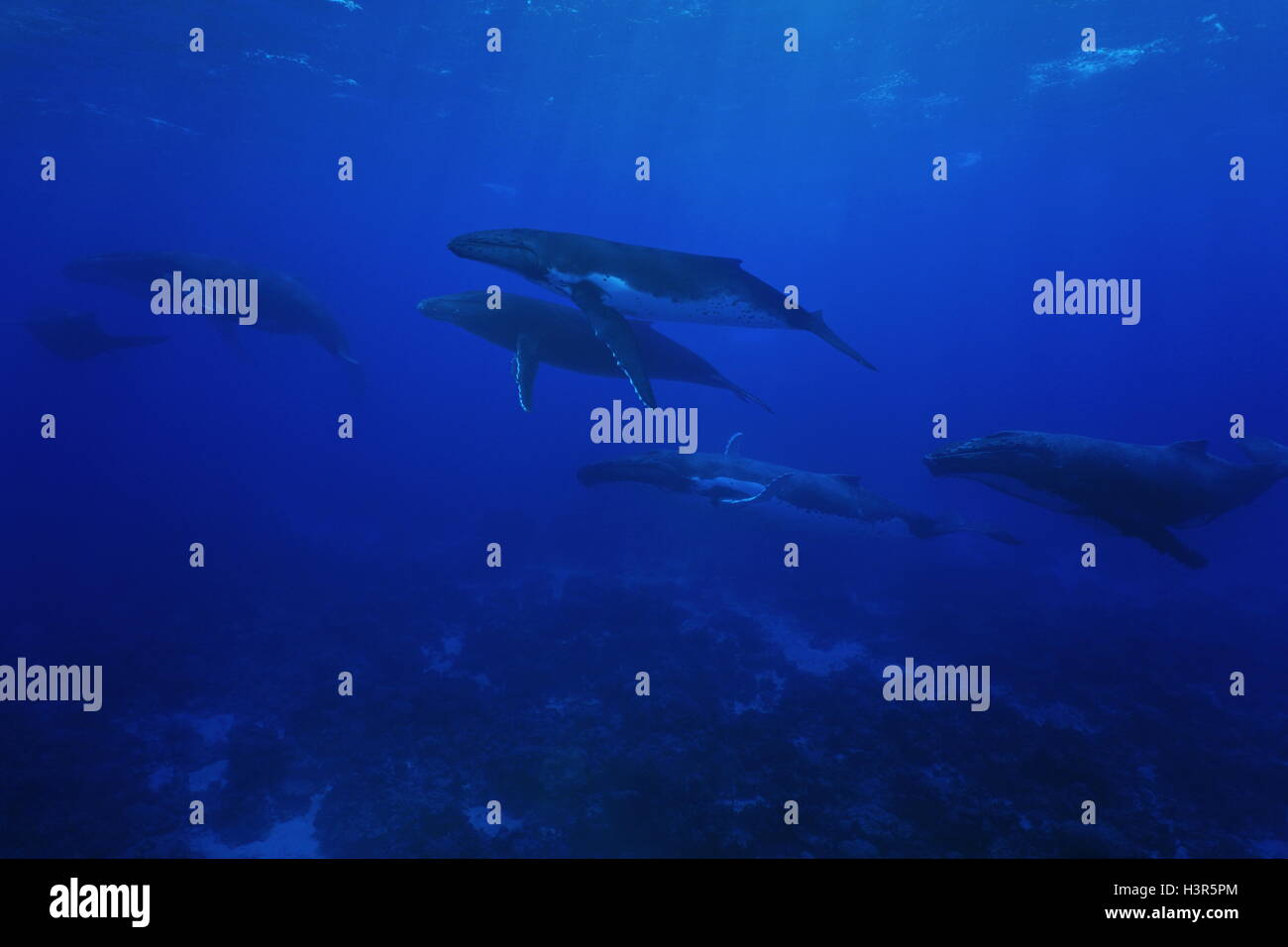 Grupo de ballenas jorobadas Megaptera novaeangliae, submarino en el océano Pacífico, la isla de Rurutu, Austral Polinesia Francesa Foto de stock