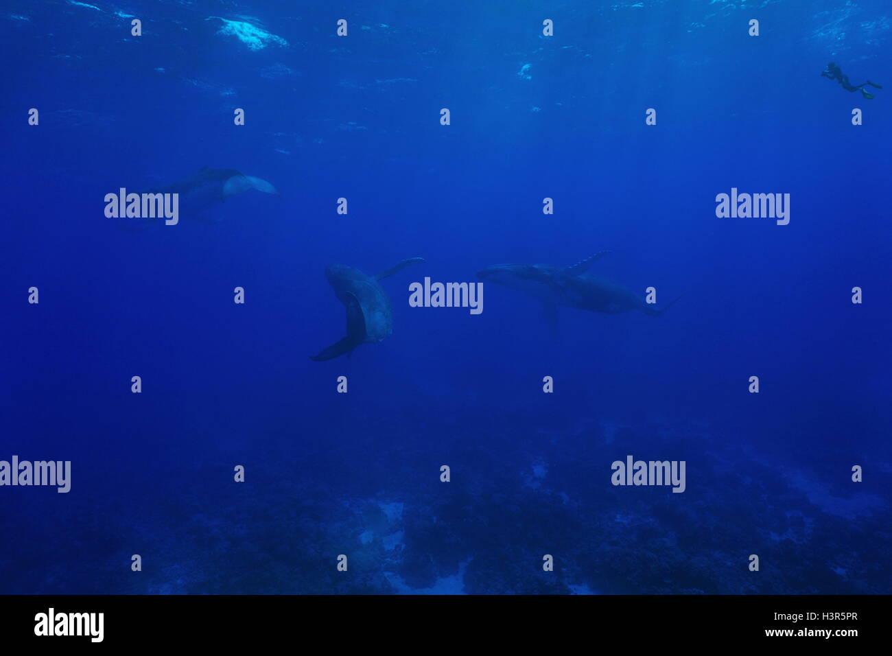 Tres ballena jorobada, Megaptera novaeangliae, submarino en el océano Pacífico con un buceador viendo, isla de Rurutu, Austral Foto de stock