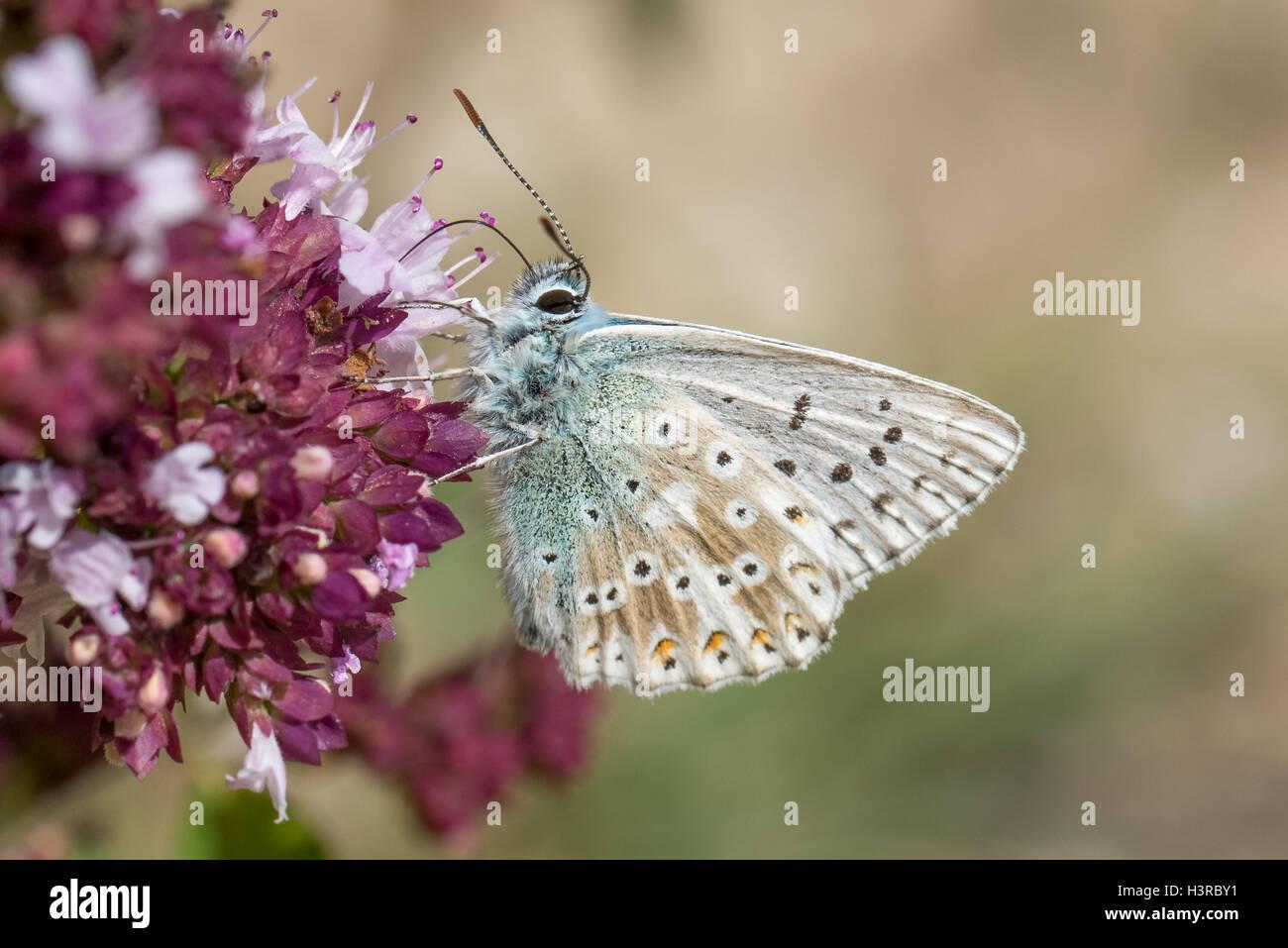 Chalkhill mariposa azul (Polyommatus coridón) alimentándose de flores de mejorana salvaje Foto de stock