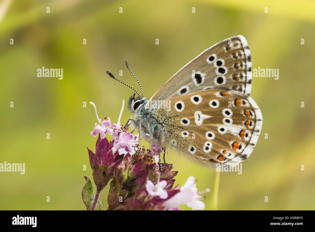 Adonis macho mariposa azul (/ Polyommatus Lysandra bellargus) sobre la mejorana Imagen De Stock