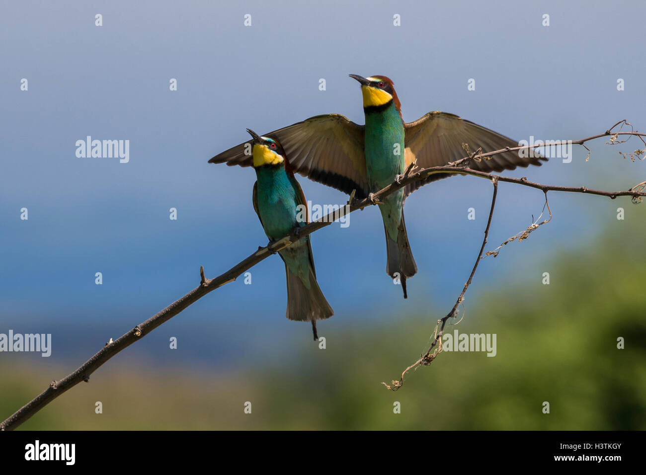 Pareja de abejarucos Europeos (Merops apiaster Foto de stock