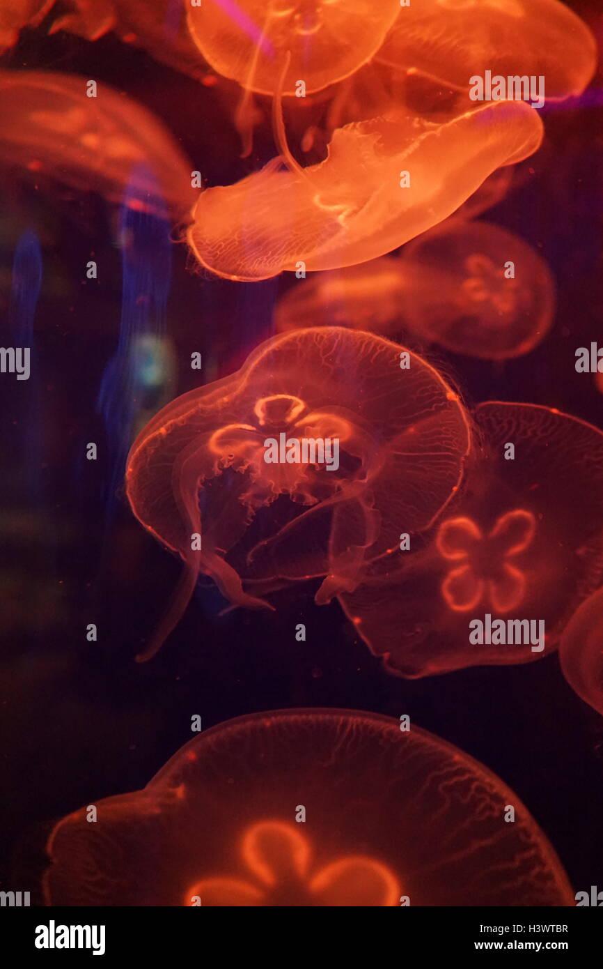 Aurelia aurita, un translúcido medusas que es reconocido por su forma de herradura cuatro gónadas, que son visibles a través de la parte superior de la campana. Fecha Siglo XXI Foto de stock