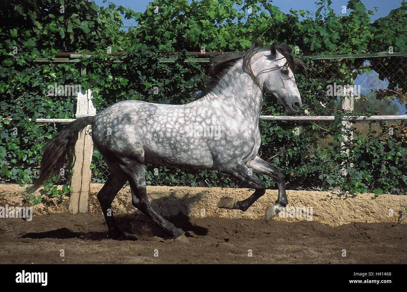 Correa, caballo andaluz, Gallop, animal, animales, caballos, mamíferos, mamíferos, beneficio, beneficio Imagen De Stock