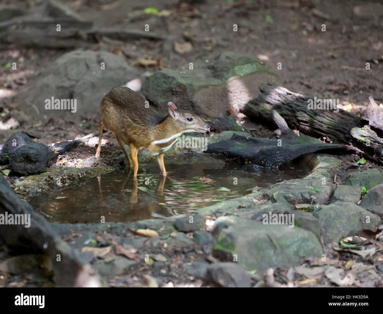 Menor ratón-ciervo o kanchil (Tragulus kanchil) en waterhole, Kaeng Krachan Parque Nacional, Phetchaburi, Tailandia Foto de stock