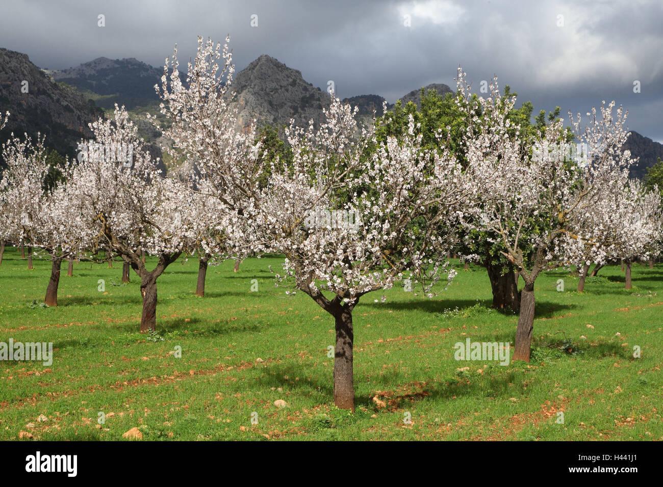 Mallorca paisaje de monta a almendros en flor espa a for Arboles de hoja perenne para clima mediterraneo