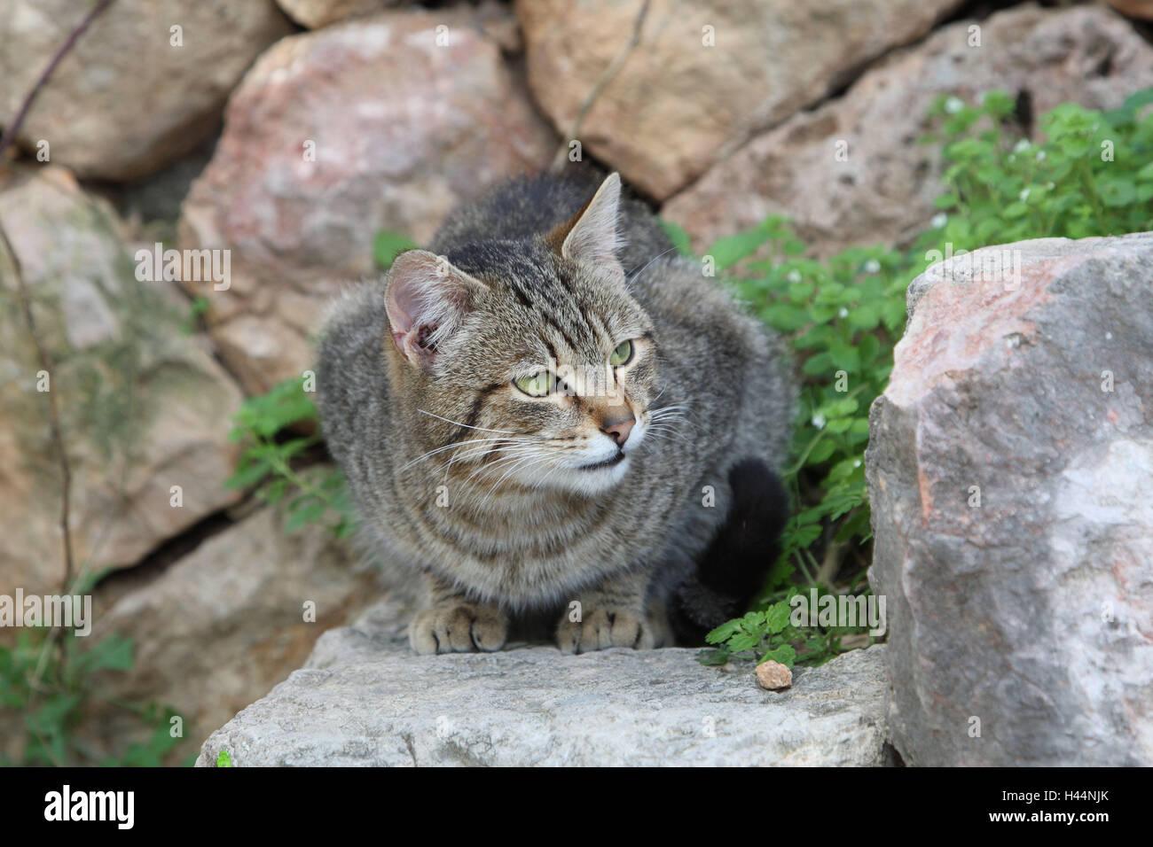 Gato, rayados, Crouch, escaleras, animales, mamíferos, mascotas, gatos pequeños, Felidae, domesticar, Imagen De Stock
