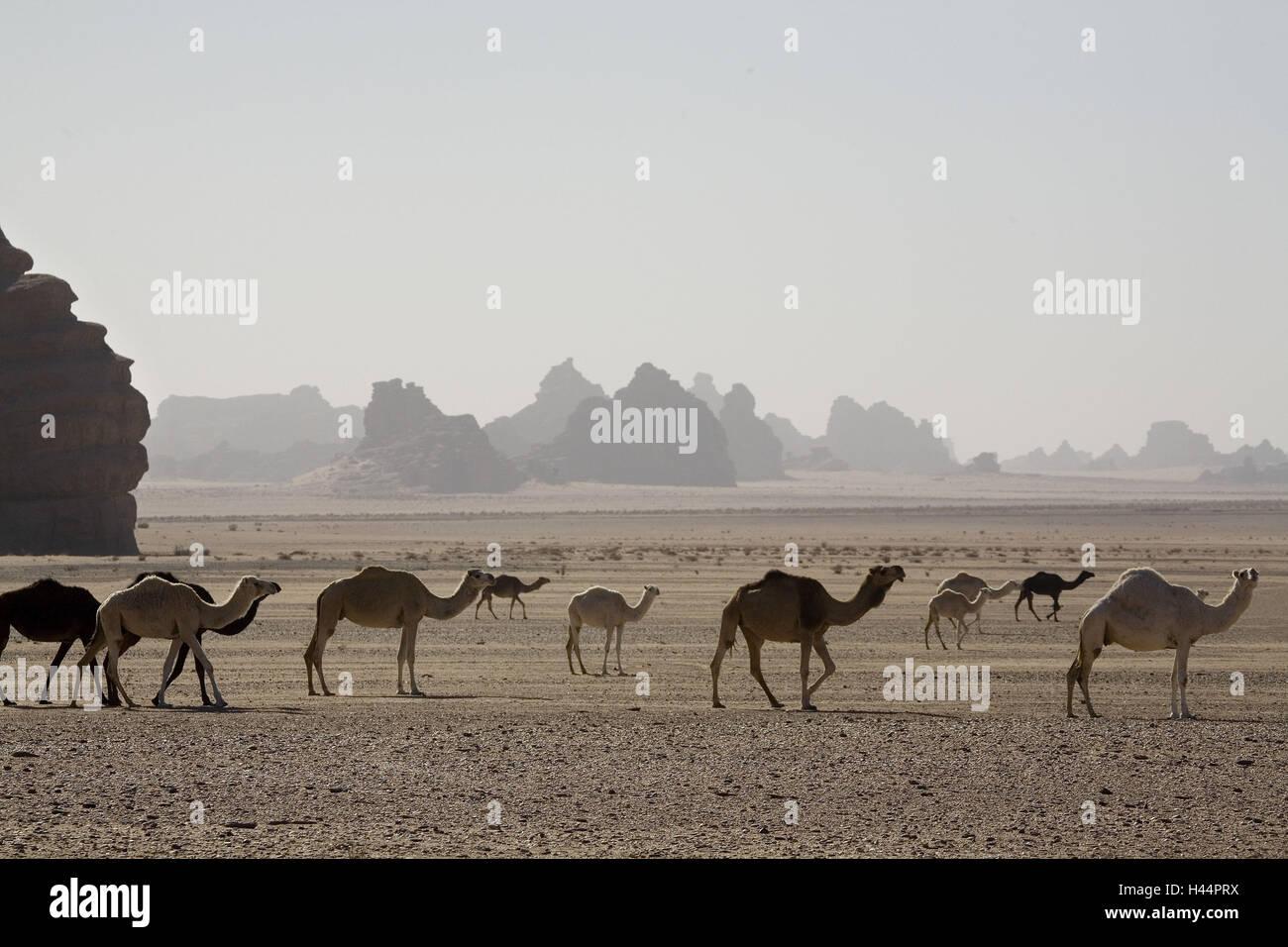 Arabia Saudita, provincia de Tabuk, Hisma-mundo de montaña, desierto, camellos, Imagen De Stock
