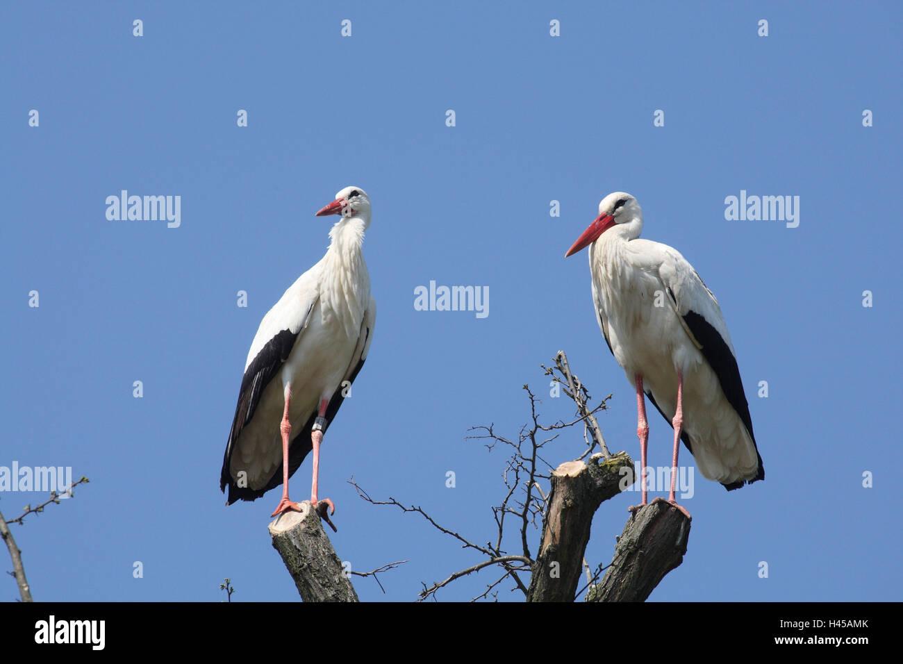 Cigüeña blanca, Ciconia ciconia, dos árboles, sentarse, Foto de stock