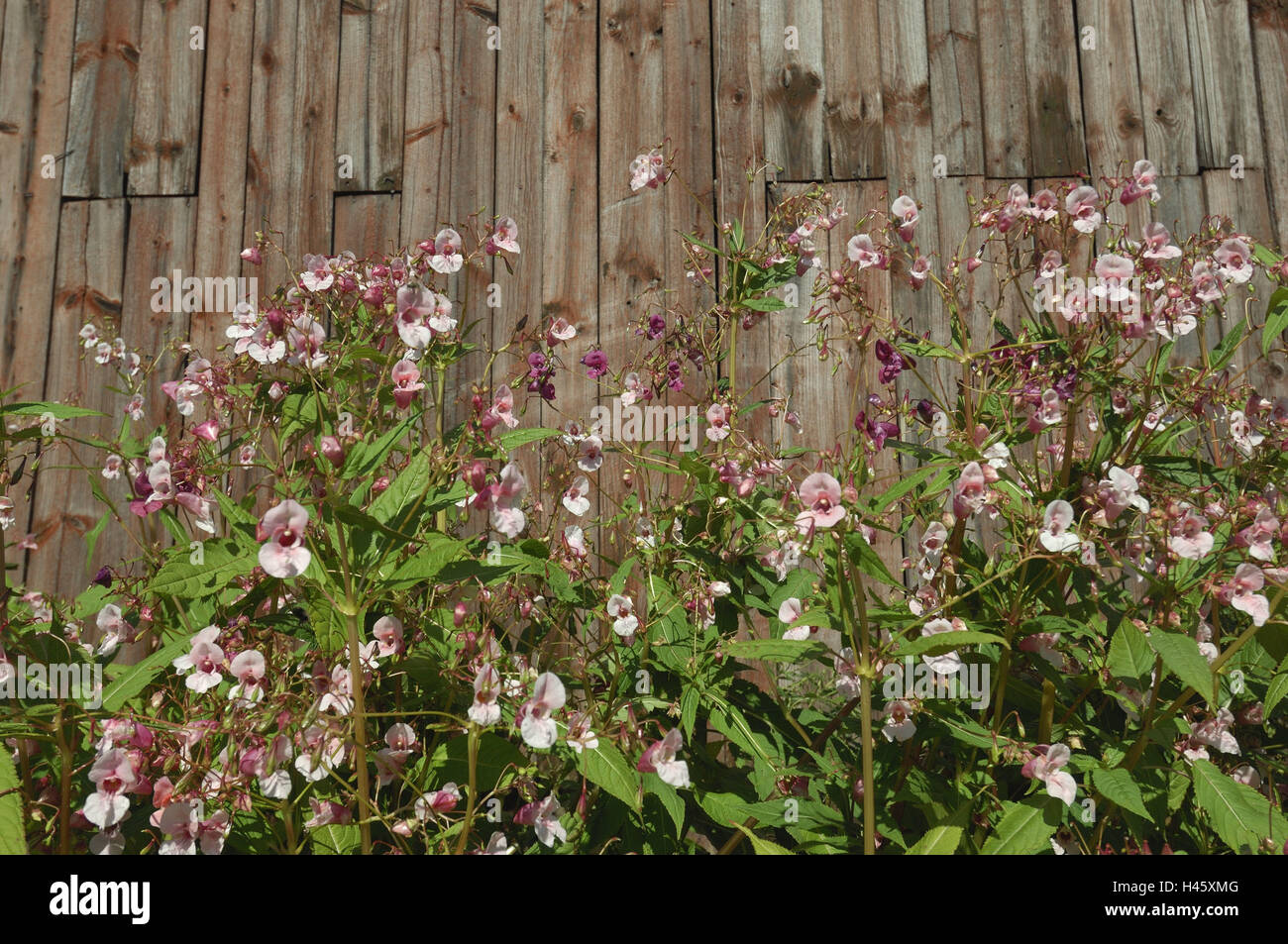 Granero, Springkraut, mediana de cerca, Finlandia Rantasalmi, Foto de stock