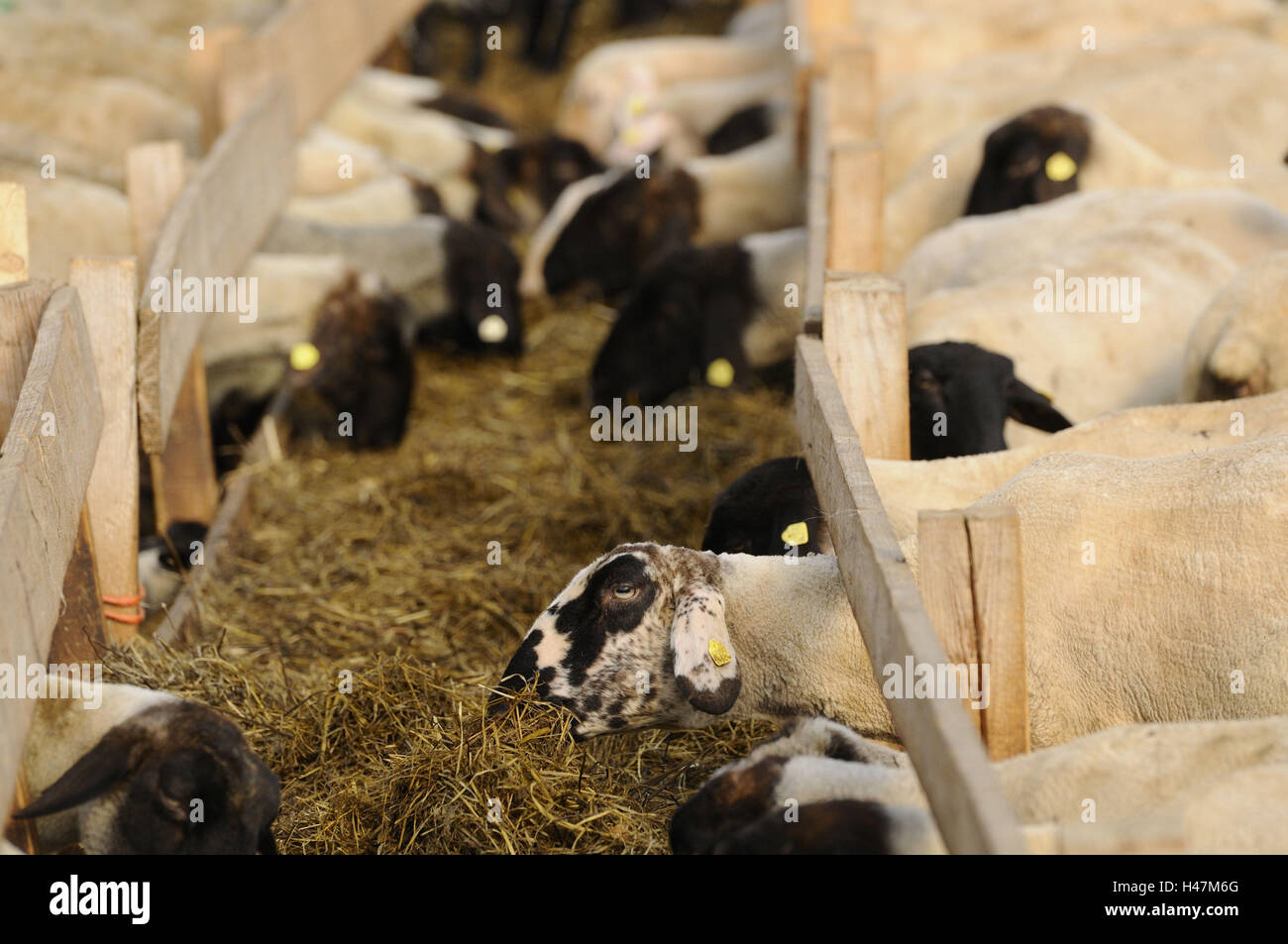 Suffolk ovejas ovejas domésticas, Ovis orientalis aries, Foto de stock
